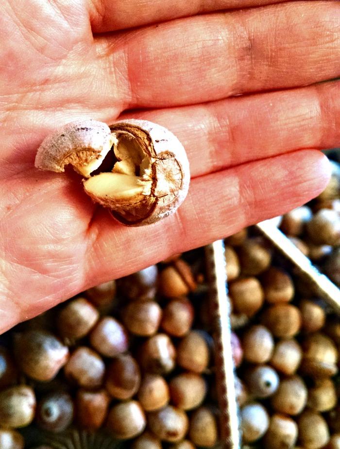 acorn-in-hand-2