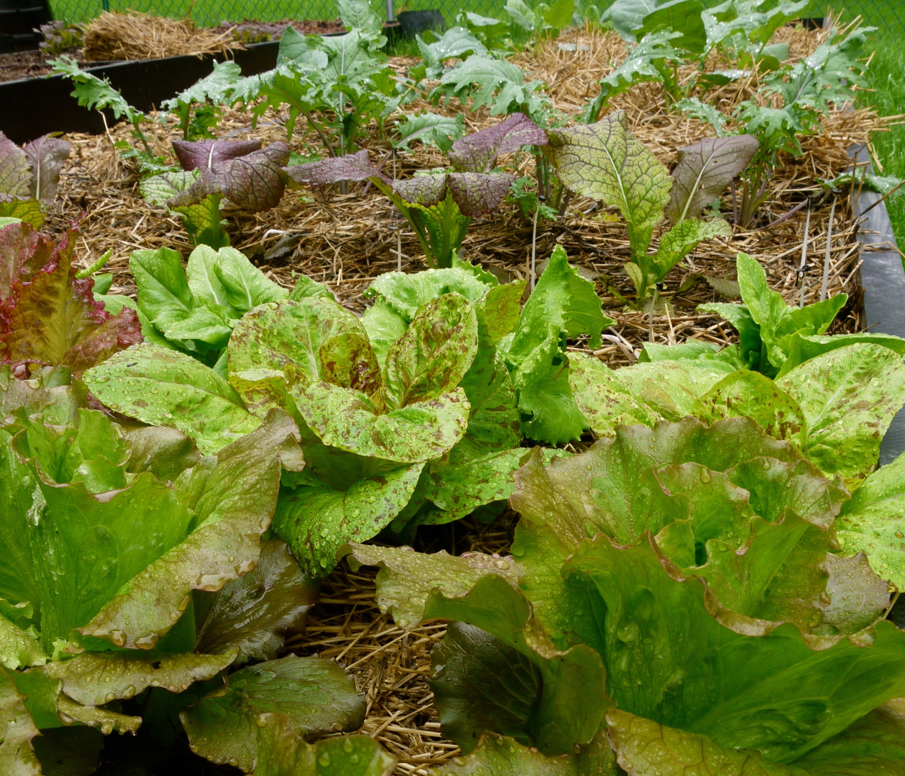 lettuce and other greens grown in a lasagna garden