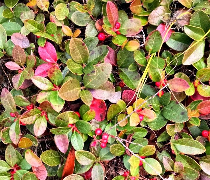 Wintergreen - teaberry