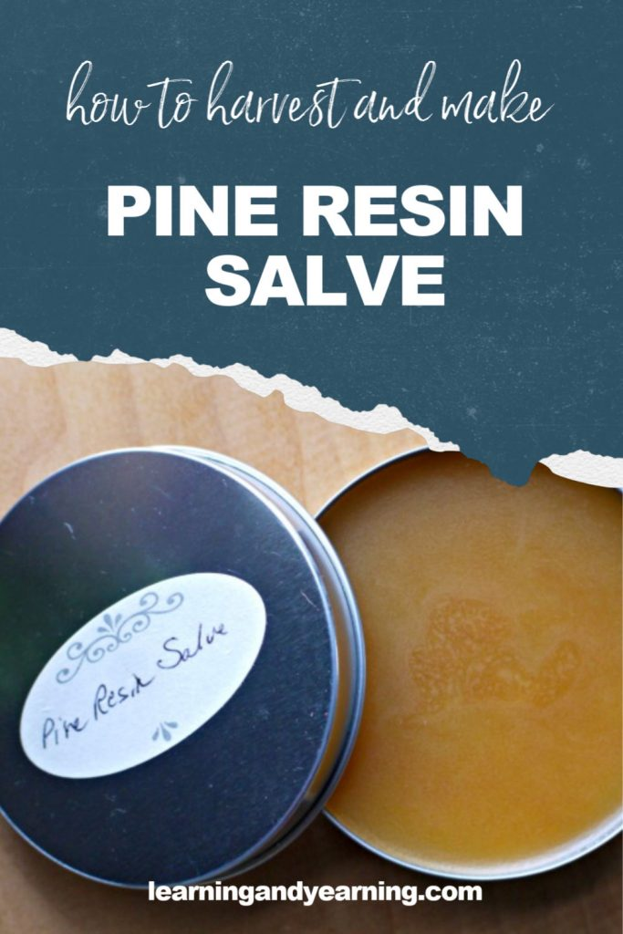 How to harvest pine resin to make your own healing salve!