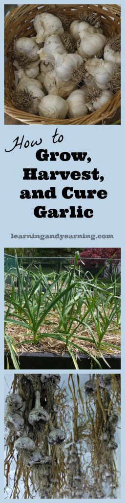 Learn to grow garlic, harvest garlic, and cure garlic for storage. It's one of the easiest garden plants ever, and every meal needs garlic!