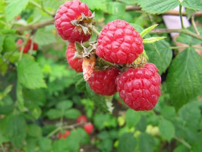 Growing fruit can be more challenging than vegetables, but once you learn the easy way to grow raspberries, you'll never grow them any other way!