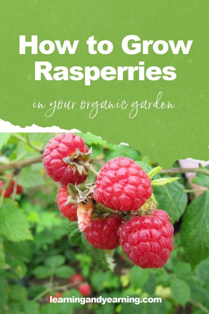 How to grow raspberries in your organic garden!