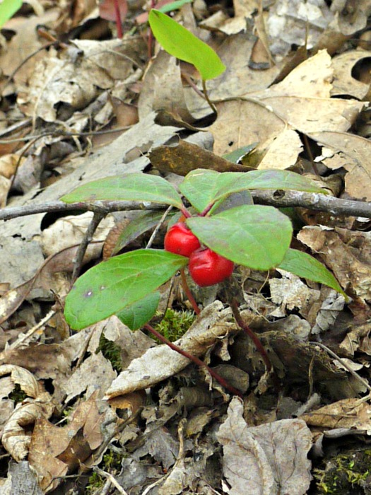 teaberry, also known as wintergreen