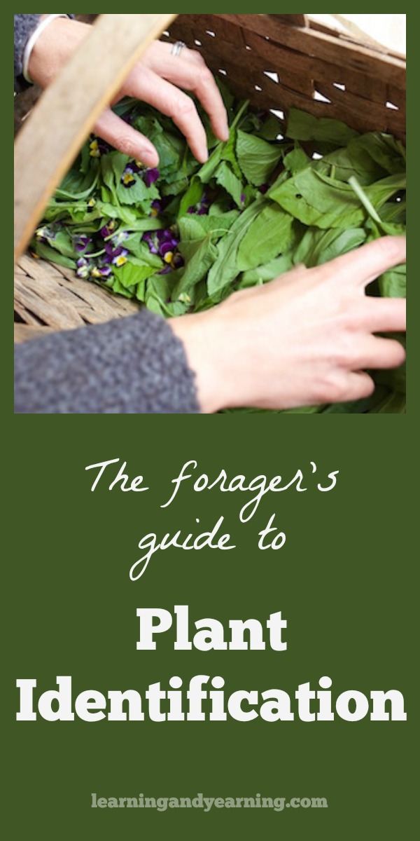 This Forager's Guide to Plant Identification will help you to learn to observe plant patterns, and to learn plants by family. It also has recommendations on how to take your foraging and wildcrafting skills to a whole new level.