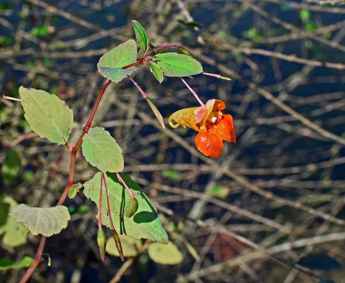jewelweed to prevent poison ivy