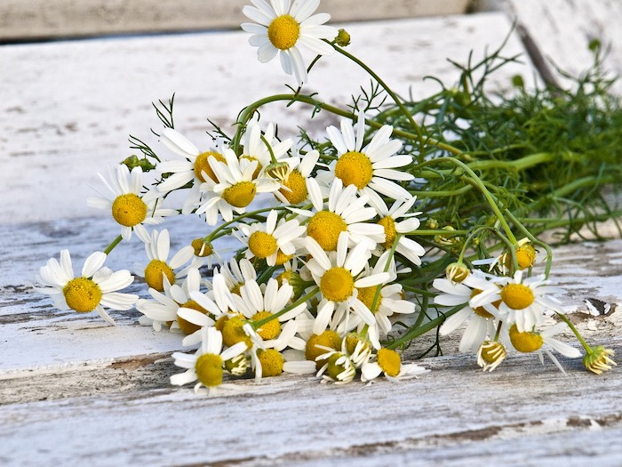chamomile edible flower medicinal flower home remedy