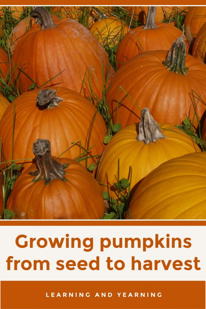 How to grow pumpkins from seed to harvest!