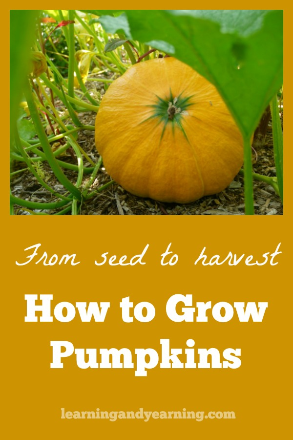 Pumpkins are popular for fall fun, and amazing treats. If you learn how to grow pumpkins, you'll get to watch the magic all summer long, and save yourself some money come fall. #howtogrowpumpkins #pumpkins #gardening #organicgardening