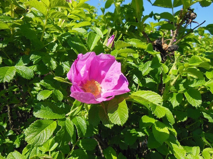 rosa rugosa rose edible flower