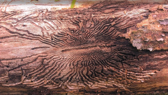 damage to tree by emerald ash borer