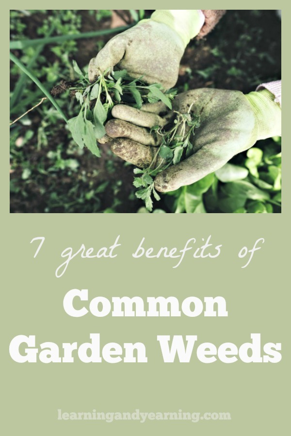 Weeds can be the bane of gardening, right? But don't get too discouraged when you find common lawn weeds, or garden weeds. There are some great ways to use them, after all. #weeds