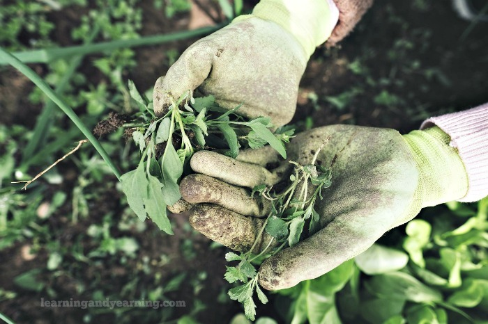 garden weeds can be beneficial