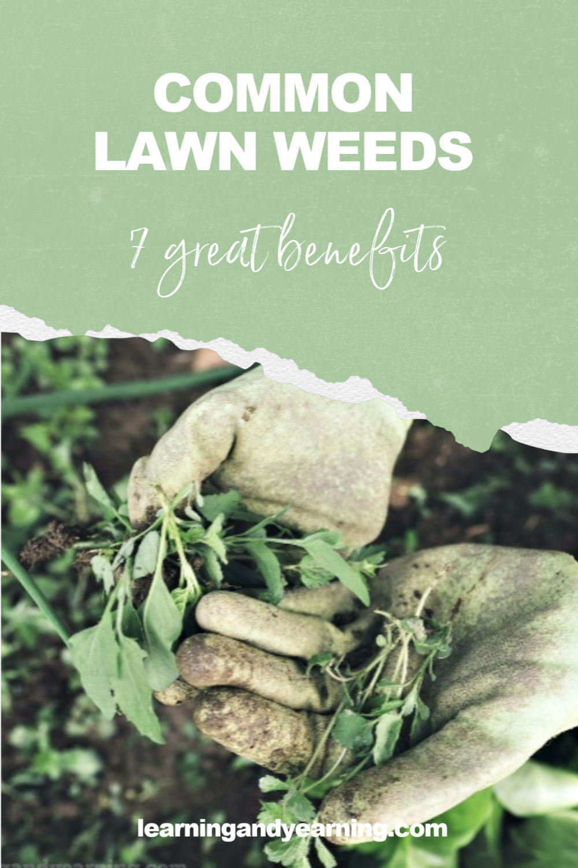 7 great benefits of common lawn weeds! #gardening