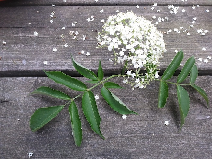 elderflower and leaves