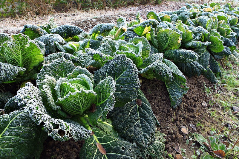 frost on cabbage