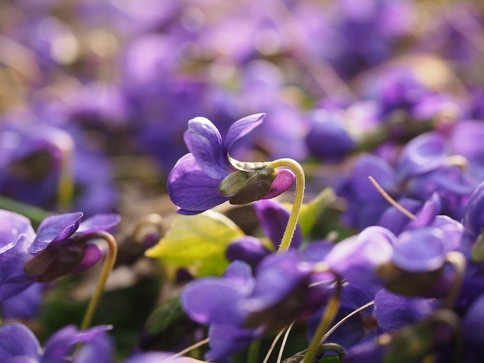 wild violets have soothing properties