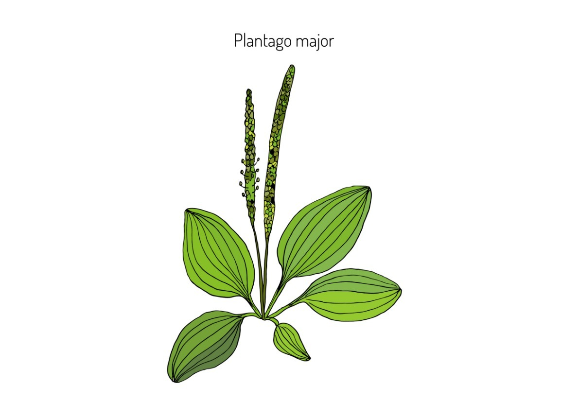 plantain weed