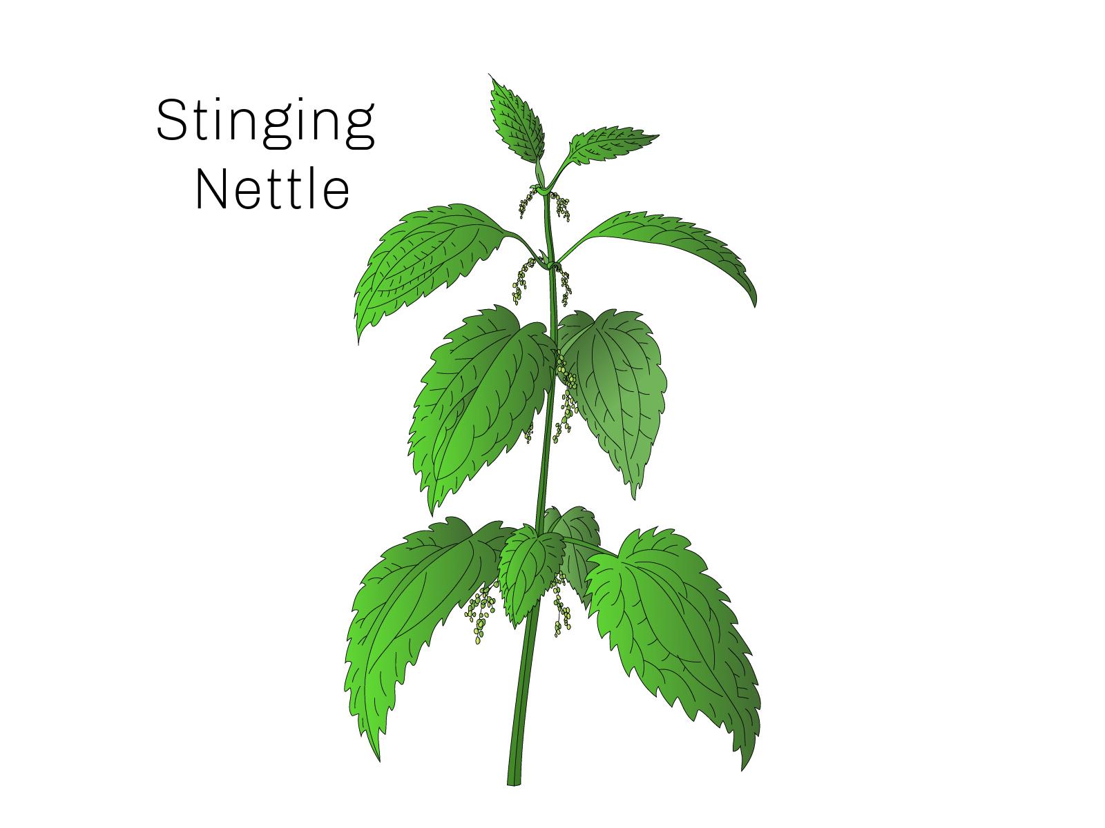 stinging nettle