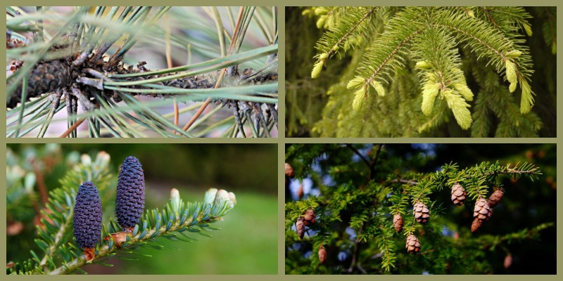 How to identify pine, spruce, fir, hemlock Pinaceae family