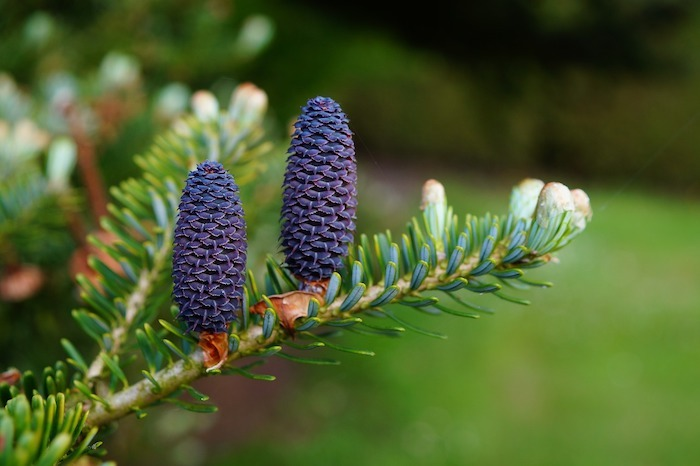 fir needles and cones