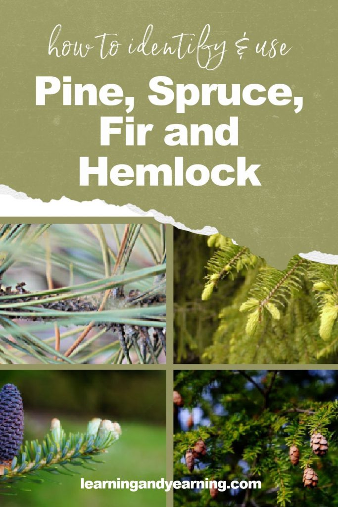 How to identify pine, spruce, fir and hemlock!