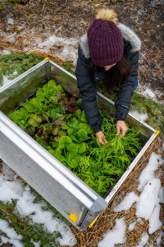 harvesting greens from cold frame in winter