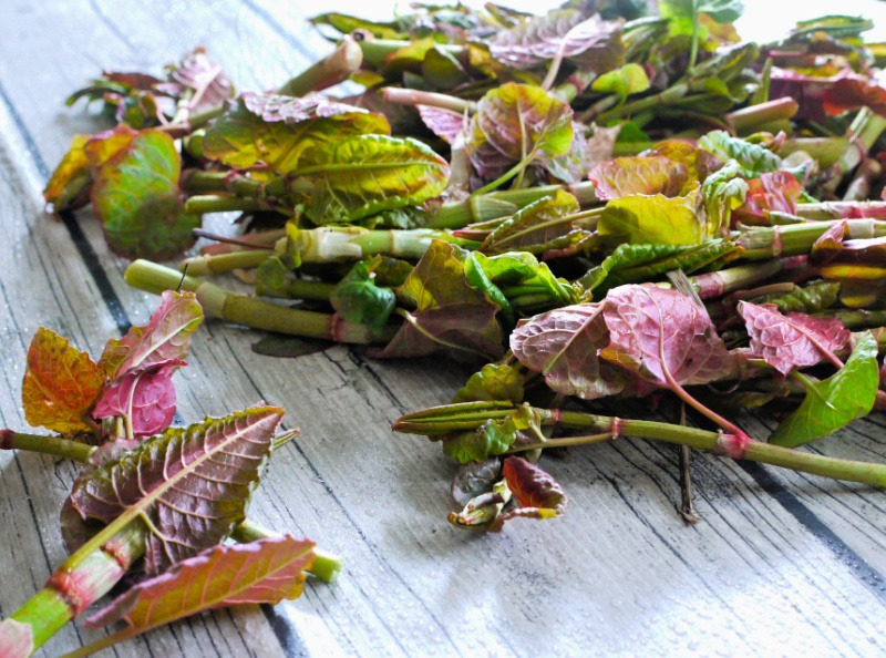 Japanese knotwood shoots - spring foraging