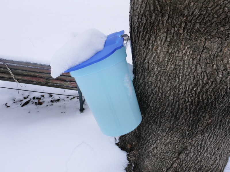 spring foraging - sap bucket on maple