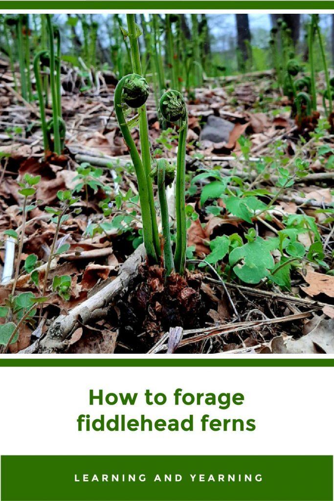 How to forage ostrich fern fiddlehead ferns!